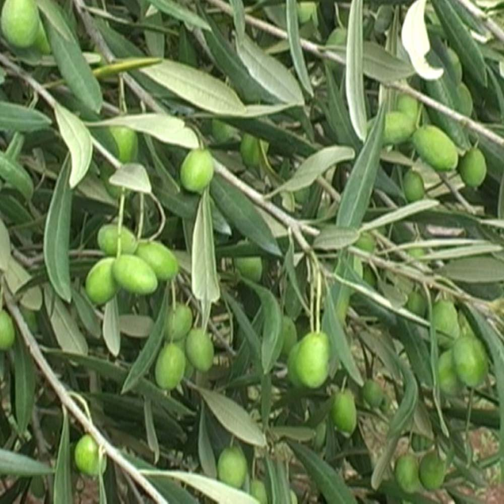 cultivar-coratina.jpg